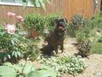 Chien Bumastiff Fred - Mastiff anglais  (0 mois)