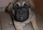 Chien Fibus de La Vallée de l\'Armance, 2 mois L.O.F - Mastiff anglais  (2 mois)
