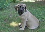 Chien Fibus de la Vallée de l\'Armance - Mastiff anglais  (0 mois)