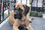 Chien  - Mastiff anglais  (0 mois)