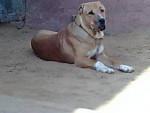 Chien  - Alangu Mastiff  (0 mois)