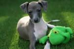 Chien Kermit - Petit lévrier italien Mâle (3 mois)