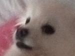 Chien Snowball - Esquimau américain Femelle (4 ans)