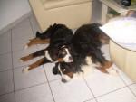 Chien toto et bisca - Bouvier Bernois  (0 mois)