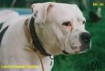 Chien Alapaha Blue Blood Bulldog - Alapaha Blue Blood Bulldog Femelle (0 mois)