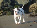 Chien  - Alapaha Blue Blood Bulldog  (0 mois)