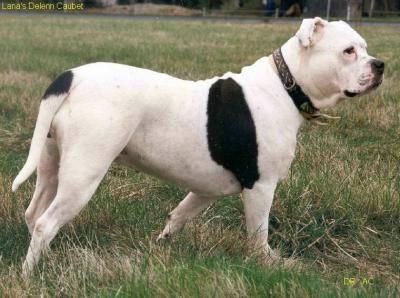 Chien Alapaha Blue Blood Bulldog - Alapaha Blue Blood Bulldog  (0 mois)