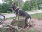 Chien Indiana l\'Altdeutsche Schäferhunde - Altdeutscher Schäferhund  (0 mois)