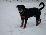 Chien folken - Rottweiler Mâle (6 mois)