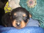 Chien lady - Rottweiler Femelle (1 an)