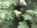 Chien déesse - Rottweiler Femelle (1 an)