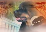 Chien Apache - Rottweiler Femelle (4 ans)
