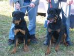 Chien aron athos - Rottweiler Mâle (6 mois)