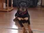 Chien Belle fille - Rottweiler Femelle (2 ans)