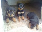 Chien cachorros - Rottweiler  (0 mois)