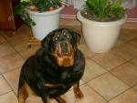 Chien roxane - Rottweiler Femelle (2 ans)