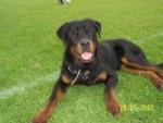 Chien Chouba - Rottweiler Mâle (2 ans)