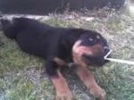 Chien Black - Rottweiler Mâle (1 an)