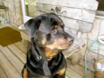 Chien duke - Rottweiler Mâle (8 ans)