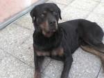 Chien Dooguy - Rottweiler Mâle (9 ans)