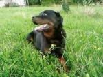 Chien buck - Rottweiler Mâle (10 ans)