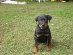 Chien Deuce - Rottweiler Mâle (3 ans)
