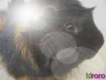 Chien Oslo - Rottweiler Mâle (6 ans)