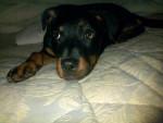 Chien Kyara - Rottweiler Femelle (6 mois)