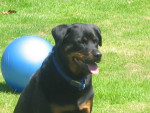 Chien ¨Pearday - Rottweiler Femelle (11 ans)