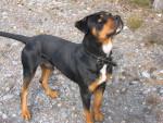 Chien Cooky - Rottweiler Mâle (2 ans)