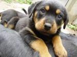 Chien Chaos - Rottweiler Mâle (1 mois)