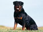 Chien bruttus - Rottweiler Mâle (3 ans)