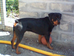 Chien Must - Rottweiler Mâle (5 ans)
