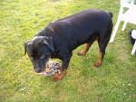 Chien ... - Rottweiler Mâle (6 mois)