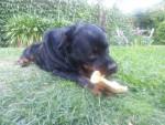 Chien Toba - Rottweiler Femelle (2 ans)