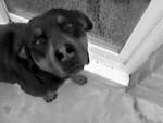 Chien Princess - Rottweiler Femelle (3 ans)
