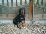 Chien Pongo (décédé) - Rottweiler Femelle (10 ans)