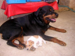 Chien Rottweiler - Poska (et Bouly) - Rottweiler  (0 mois)