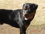 Chien rottweiler arès né le 07.06.05 - Rottweiler  (0 mois)