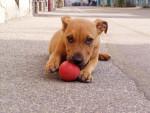 Chien bouille bull terier rottweiler - Rottweiler  (0 mois)