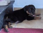 Chien Rambo - Rottweiler - Rottweiler  (0 mois)