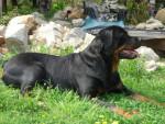 Chien rottweiler shana von der kroning keiser - Rottweiler  (0 mois)