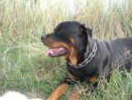 Chien Rottweiler Ali - Rottweiler  (0 mois)