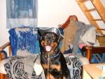 Chien balzane rottweiler - Rottweiler  (0 mois)