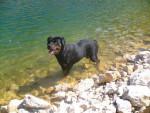 Chien marge rottweiler - Rottweiler  (0 mois)