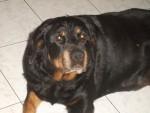 Chien nilda rottweiler - Rottweiler  (0 mois)