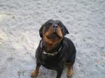 Chien Rottweiler : Yuna - Rottweiler  (0 mois)