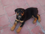 Chien Rocky, rottweiler - Rottweiler  (0 mois)