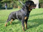 Chien rottweiler  bronko du jardin des monts d\'or - Rottweiler  (0 mois)