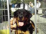 Chien ROTTWEILER CIRKA DE LA FLAMME D EBENE - Rottweiler  (0 mois)